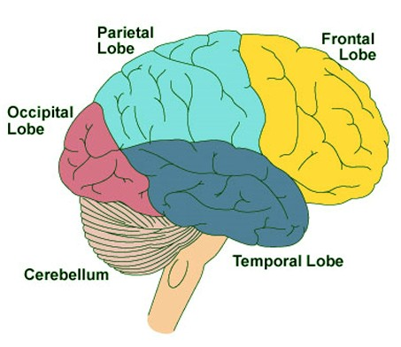 frontal lobe function location dementia damage tumor atrophy : frontal lobe diagram - findchart.co